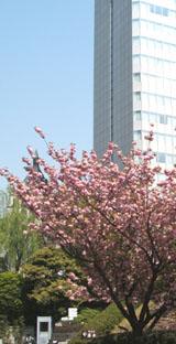 sakura-20050421-1
